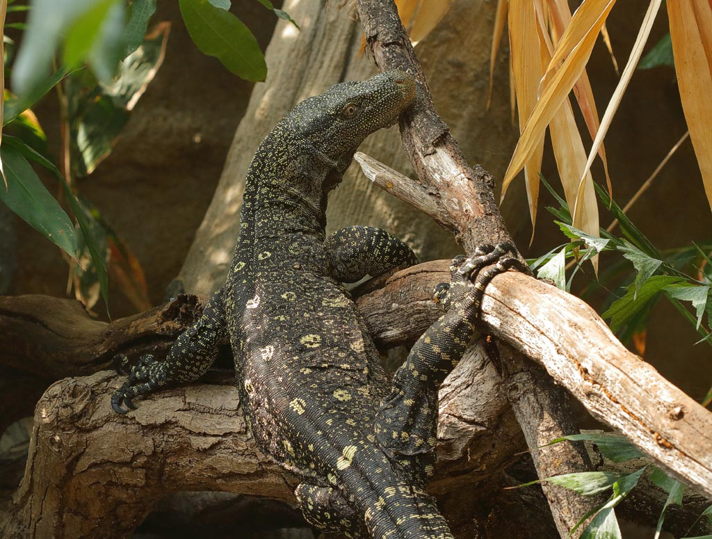zoo Monitor Lizard 1A01_001_08-07-19.jpg