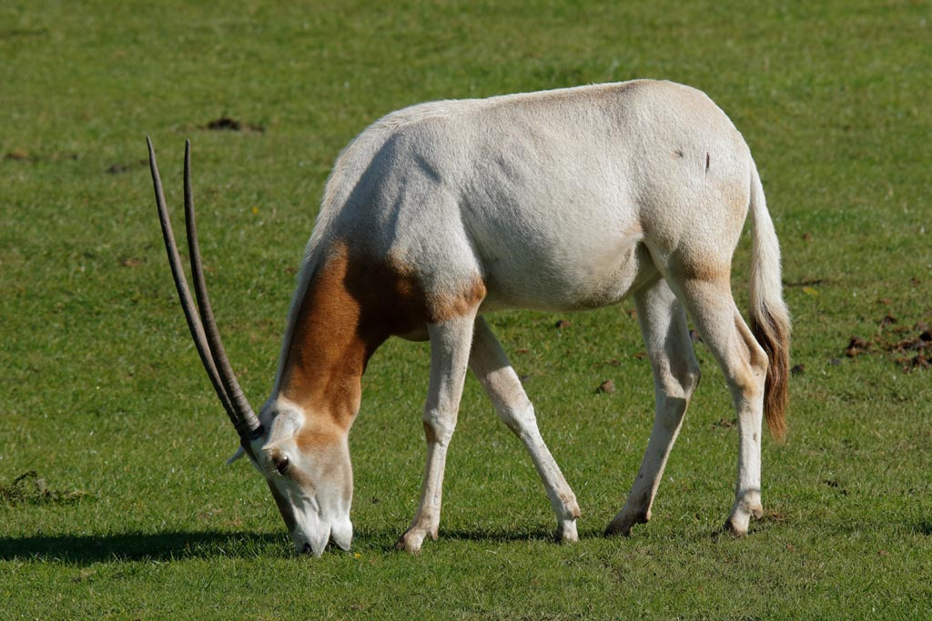 zoo Scimitar-horned Oryx A01_001_15-09-17.jpg
